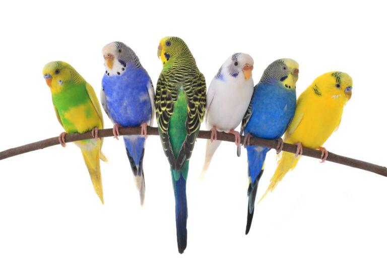 Οδηγός αρχαρίου για κατοικίδια πτηνά